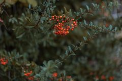 Bayas del otoño del espino Arbusto decorativo con las bayas rojas Pequeñas bayas rojas con las hojas verdes Copie el espacio imagenes de archivo