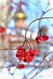 Bayas del Viburnum en invierno Imagenes de archivo