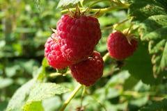 Bayas dulces rojas en el jardín del verano Imagen de archivo libre de regalías
