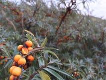 Bayas en arbustos salados Imágenes de archivo libres de regalías