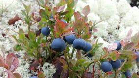 Bayas en musgo en el bosque septentrional del otoño Foto de archivo
