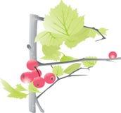 Bayas en un árbol con las hojas Fotografía de archivo libre de regalías
