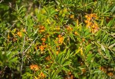 Bayas espino amarillas rojas maduras en arbustos Fotos de archivo
