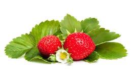 Bayas frescas de la fresa con las hojas de la flor blanca y del verde Fotografía de archivo libre de regalías