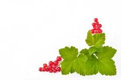 Bayas frescas de la pasa roja en un fondo blanco Fotografía de archivo libre de regalías