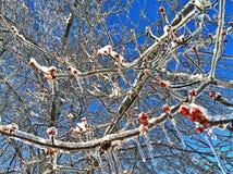 Bayas heladas del invierno Fotografía de archivo