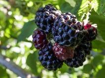 Bayas maduras de Blackberry en una macro de Bush fotos de archivo