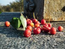 Bayas maduras de la cereza dulce Imágenes de archivo libres de regalías