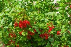 Bayas maduras de la pasa roja con las hojas verdes en las ramas de Bush, paisaje imagenes de archivo