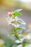 Bayas maduras del Snowberry en el jardín del otoño fotos de archivo libres de regalías