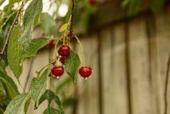 Bayas maduras rojas de la cereza en una rama en rocío Imagenes de archivo