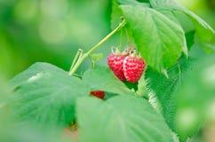 Bayas maduras rojas de la frambuesa en la rama Fotos de archivo libres de regalías