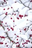 Bayas nevadas del espino Fotos de archivo libres de regalías
