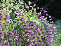 Bayas púrpuras Fotografía de archivo libre de regalías