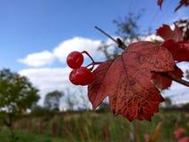 Bayas rojas Imagenes de archivo