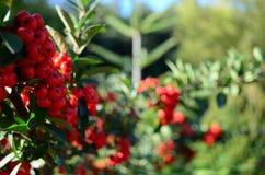 Bayas rojas Imagen de archivo libre de regalías