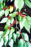 Bayas rojas Imagen de archivo