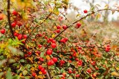 Bayas rojas Foto de archivo libre de regalías