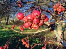 Bayas rojas Fotografía de archivo