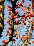 Bayas rojas Fotos de archivo libres de regalías