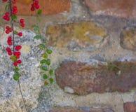 Bayas rojas al lado de una pared de ladrillo Fotos de archivo libres de regalías