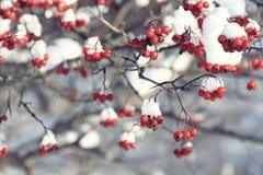 Bayas rojas bajo nieve Fotos de archivo libres de regalías