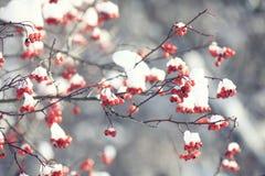 Bayas rojas bajo nieve Imagen de archivo libre de regalías
