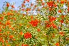 Bayas rojas brillantes de la ceniza de montaña en una rama en verano Imagenes de archivo