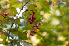 Bayas rojas brillantes de un arbusto de la guelder-rosa o del opulus del Viburnum Imagenes de archivo