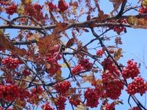Bayas rojas brillantes debajo de la nieve blanca Cielo azul y sol brillante en un día de invierno imágenes de archivo libres de regalías