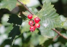 Bayas rojas brillantes entre las hojas verdes Fotografía de archivo