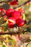 Bayas rojas; canina de Rosa Imágenes de archivo libres de regalías