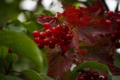 Bayas rojas con las hojas del rojo y del verde fotos de archivo libres de regalías