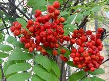 Bayas rojas con las hojas verdes foto de archivo