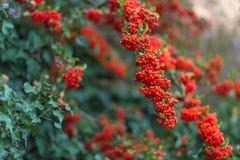 Bayas rojas con las hojas verdes Fondo borroso naturaleza Profundidad del campo baja Imagen entonada fotografía de archivo libre de regalías