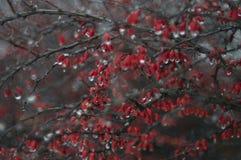 Bayas rojas congeladas imagen de archivo libre de regalías