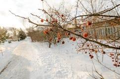 Bayas rojas congeladas en una rama Fotos de archivo