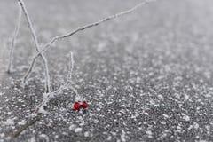 Bayas rojas congeladas hermosas en rama con los cristales de hielo Fotos de archivo