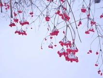 Bayas rojas contra la nieve blanca Foto de archivo libre de regalías