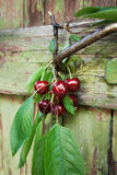 Bayas rojas de cerezas orgánicas en el jardín viejo Imagenes de archivo