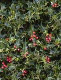 Bayas rojas de Holly Plant Christmas Background With imagen de archivo