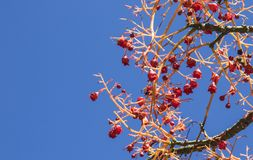 Bayas rojas de un árbol de llama australiano fotos de archivo libres de regalías