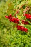 Bayas rojas de un arbusto de la guelder-rosa Foto de archivo libre de regalías