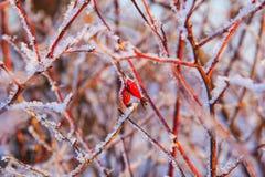Bayas rojas de un dogrose en ramas nevadas Foto de archivo libre de regalías
