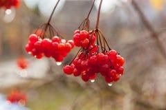 Bayas rojas de un viburnum con las gotas de agua Imágenes de archivo libres de regalías