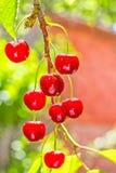 Bayas rojas de una cereza dulce en una rama, contraluz Fotos de archivo