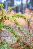 Bayas rojas del bérbero Imagen de archivo