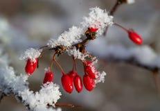 Bayas rojas del Berberis con nieve Fotografía de archivo