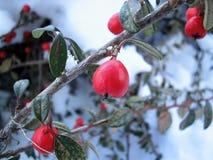 Bayas rojas del escaramujo del invierno Foto de archivo libre de regalías