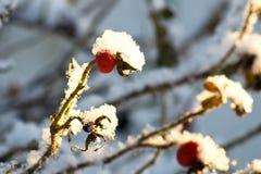 Bayas rojas del escaramujo en la nieve mullida blanca Imagen de archivo libre de regalías